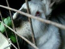 Кролики мясные